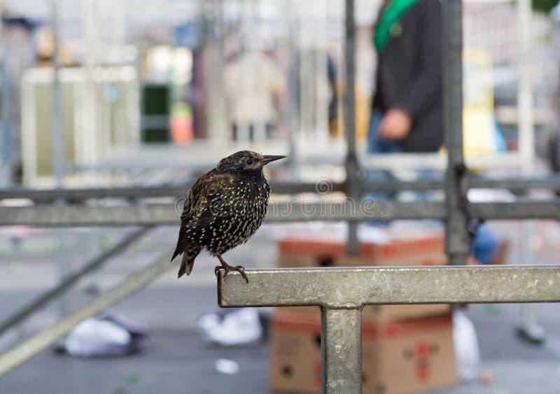 Common Starling, Spreeuw, Sturnus vulgaris. Common Starling perched in Amsterdam; Spreeuw groep zittend op een kraam op de Albert Cuyp in Masterdam royalty free stock image