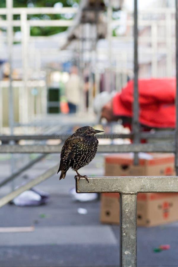 Common Starling, Spreeuw, Sturnus vulgaris. Common Starling perched in Amsterdam; Spreeuw groep zittend op een kraam op de Albert Cuyp in Masterdam stock photo
