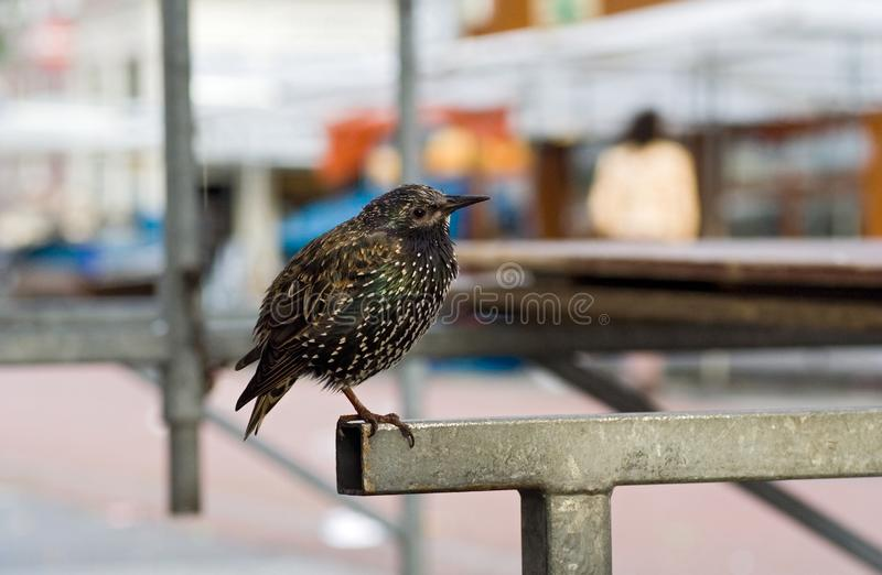 Common Starling, Spreeuw, Sturnus vulgaris. Common Starling perched in Amsterdam; Spreeuw groep zittend op een kraam op de Albert Cuyp in Masterdam royalty free stock photos