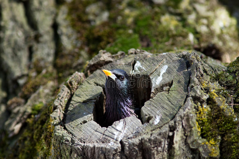 Common Starling (Sturnus vulgaris). Look out of the hollow of a tree trunk stock photos