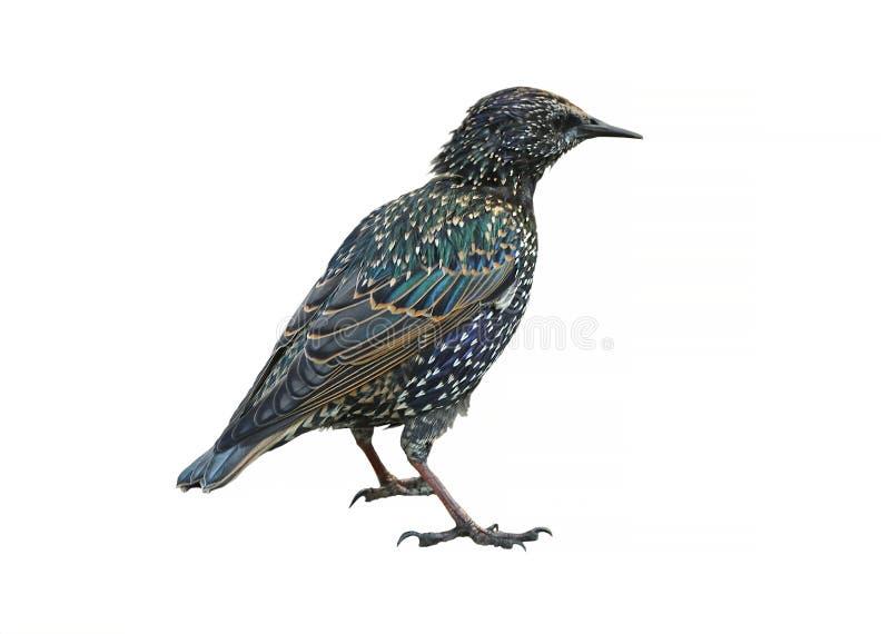 Common starling Sturnus vulgaris, also known as European starling.  stock photo