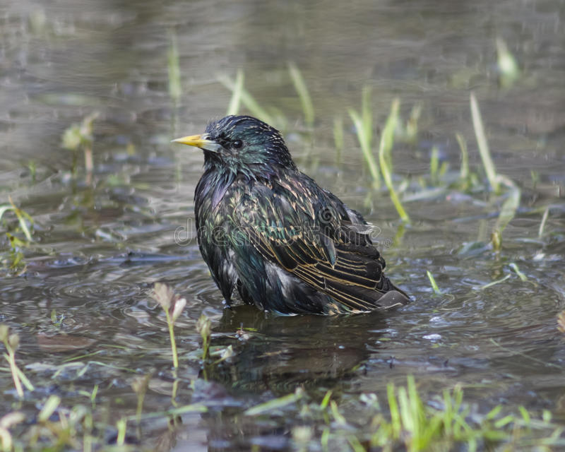 Common Starling, sturnus vulgaris, bathing in puddle, selective focus royalty free stock image