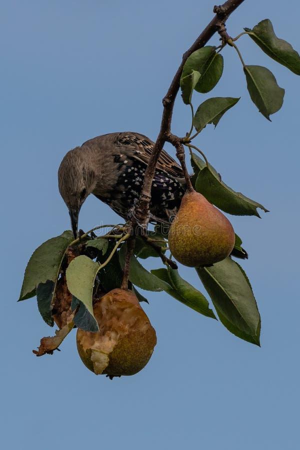 Common starling Sturnus vulgaris royalty free stock images
