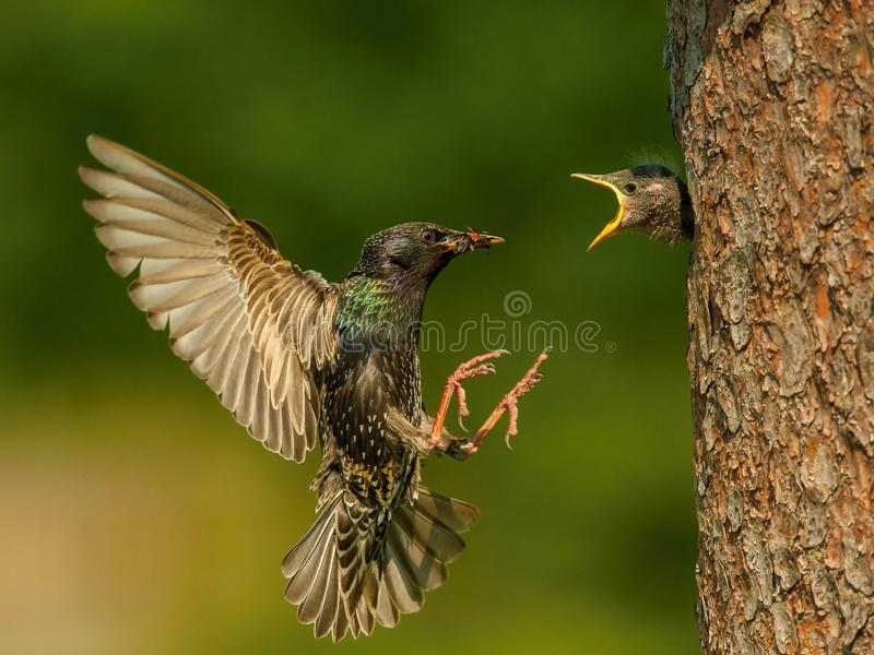 The Common Starling, Sturnus vulgaris is flying with some insect to feed its chick. Young bird is opening the beak to be feeded, pretty golden light, green stock photo