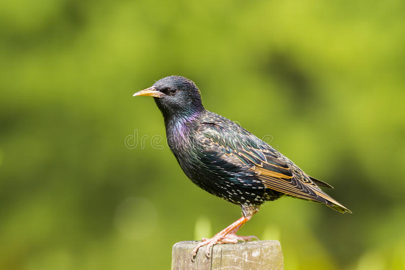 Common Starling - Sturnus vulgaris. Perched on a fence royalty free stock photo