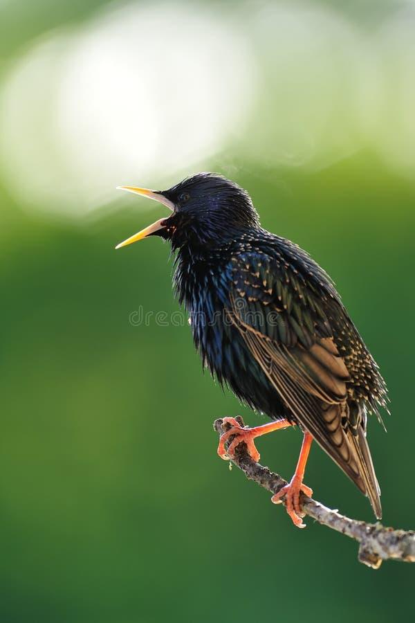 Common starling Sturnus vulgaris. Singing at spring. European starling. Bird singing. Spring caller royalty free stock photo