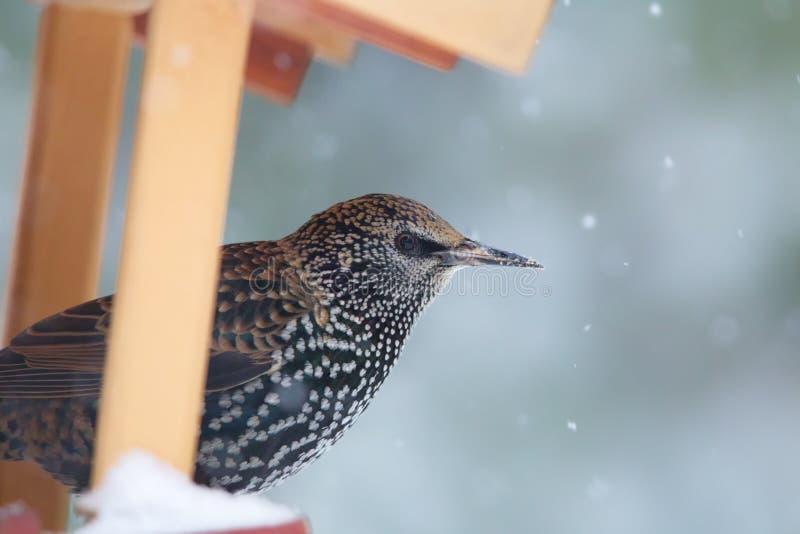Common Starling Sturnus vulgaris. Sitting on a bird feeder in winter stock images