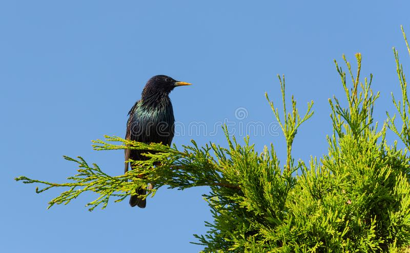 The common starling Sturnus vulgaris. Sitting on a tree branch, blue sky background stock images