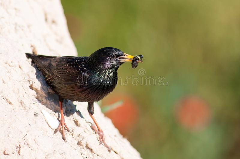 Common starling Sturnus vulgaris stands with prey near their hole.  royalty free stock photo