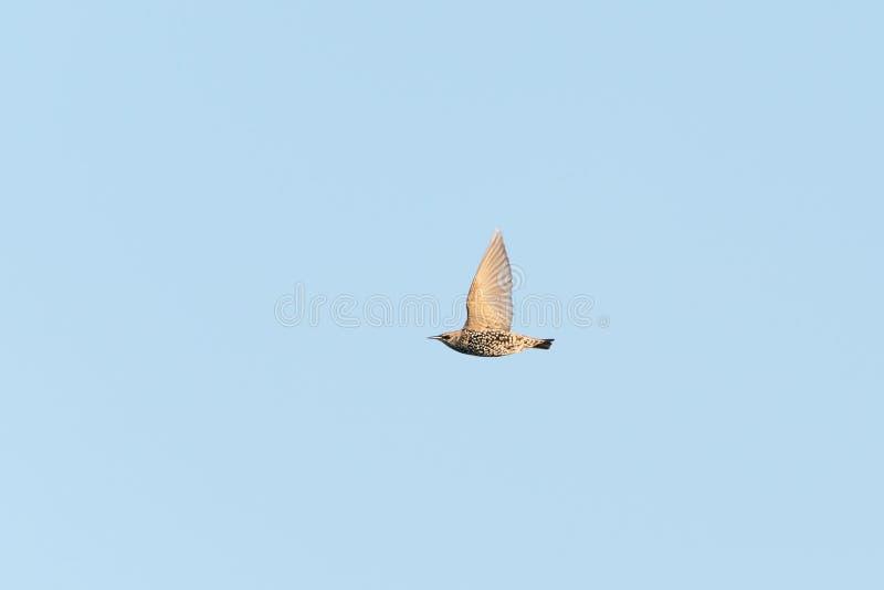 Common starling (Sturnus vulgaris) taken in the UK. Common starling (Sturnus vulgaris) in flight taken in the UK, bird, birds, flying, nature stock photo