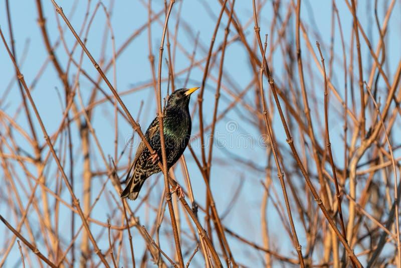 Common starling (Sturnus vulgaris) taken in the UK. Common starling (Sturnus vulgaris) perched, taken in the UK, bird, birds, nature royalty free stock photos