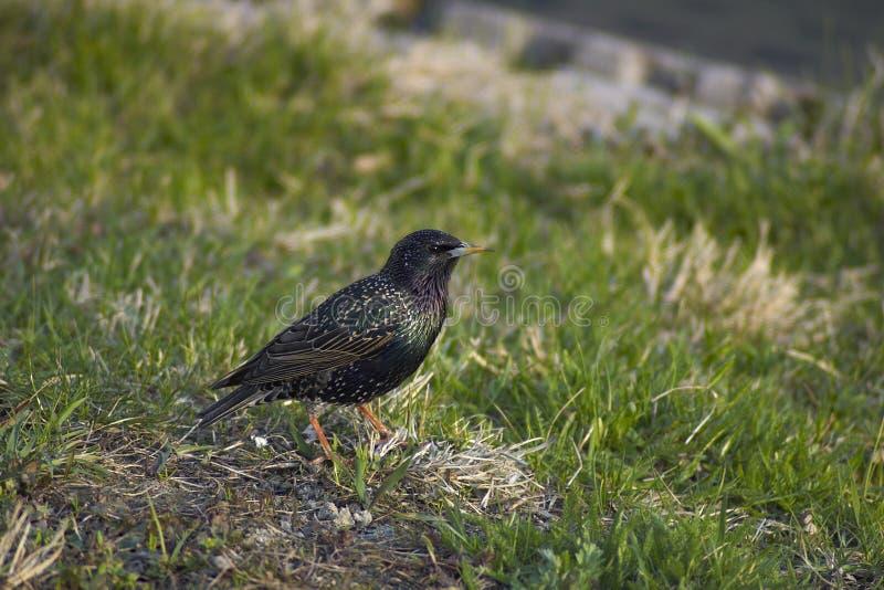 Download Common Starling (Sturnus Vulgaris Vulgaris) Stock Photo - Image of park, sturnus: 991332
