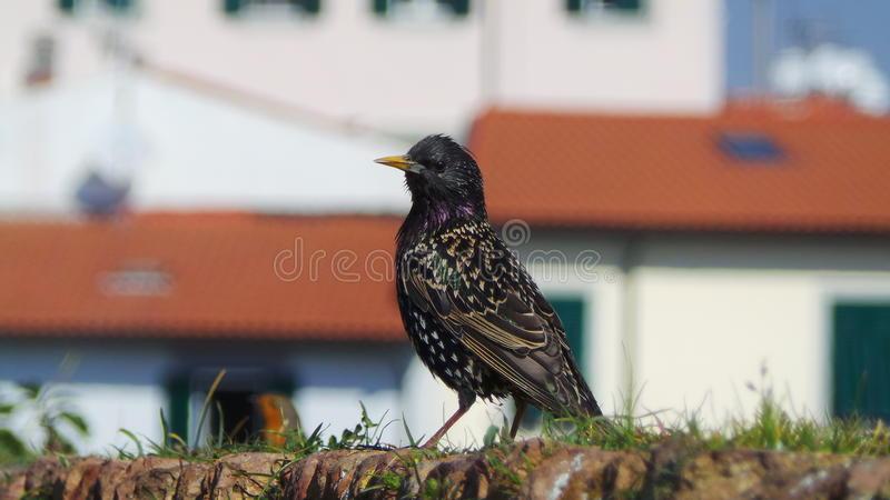 Common starling on a wall. A common starling on a wall with a white house on the background stock photography