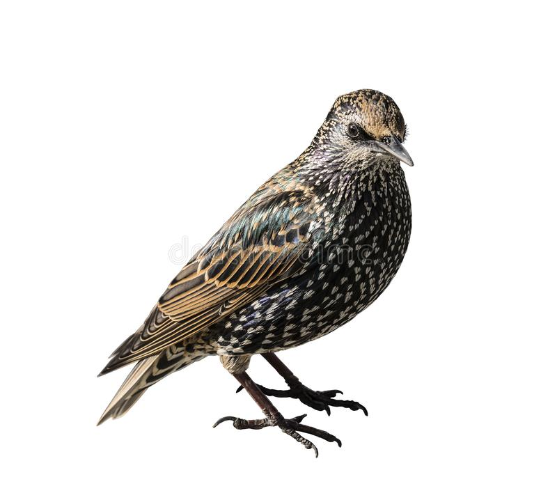 Common starling on a white background. Isolated stock image