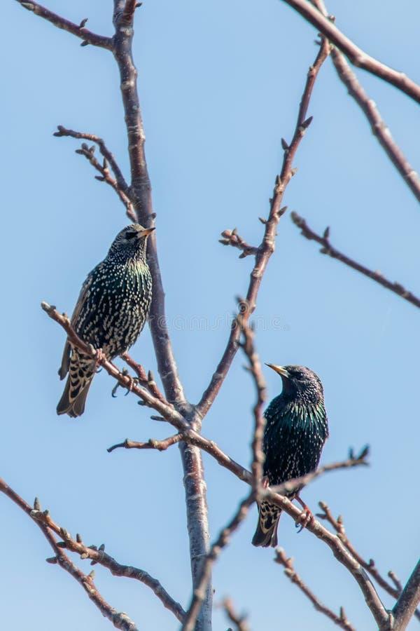 Common Starlings on a branch, Sturnus vulgaris. Wildlife stock photo
