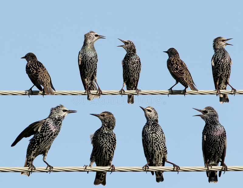 A Common starlings on electrical wire unusual view. Common starlings on electrical wire unusual view royalty free stock photo