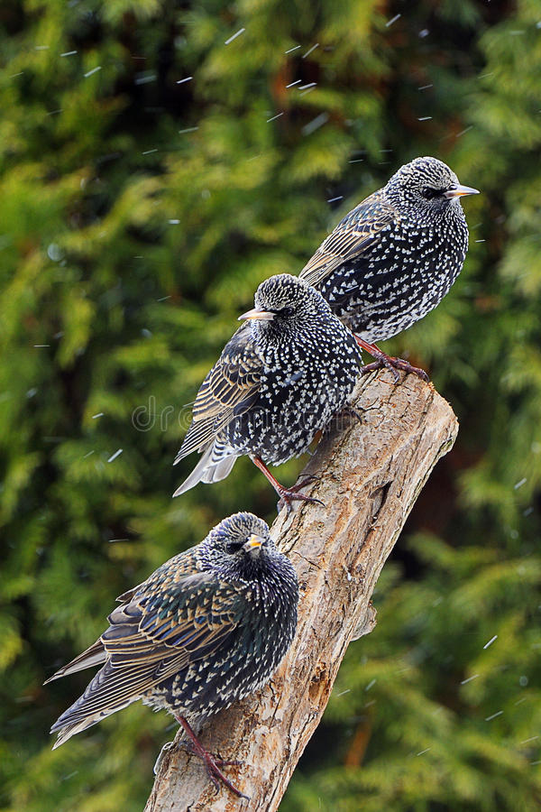 Common Starling. 3 Common Starlings on a tree. Common Starling (Sturnus vulgaris), also known as the European Starling or just Starling royalty free stock photography