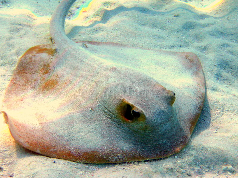 Download Common Stingray Stock Photography - Image: 4680902