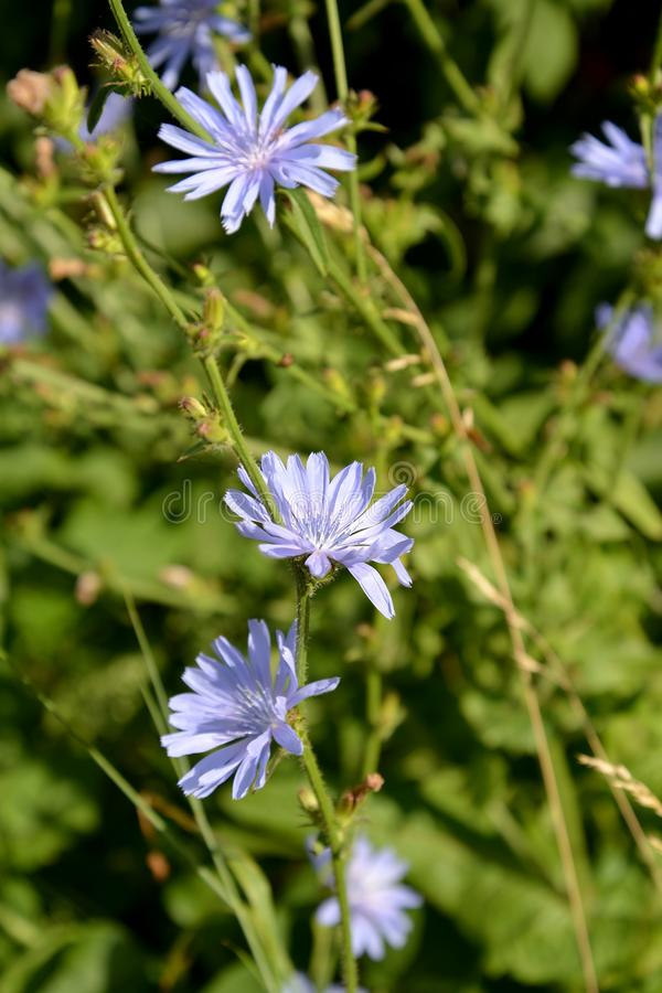 Common succory Cichorium intybus L.. The blossoming plant royalty free stock photo
