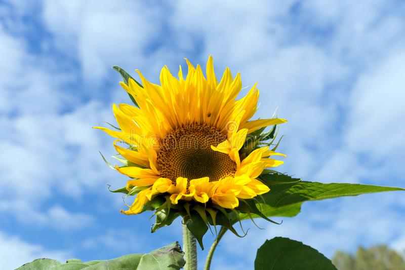 Common sunflower flowers in the garden against the blue sky in a sunny day. stock photo
