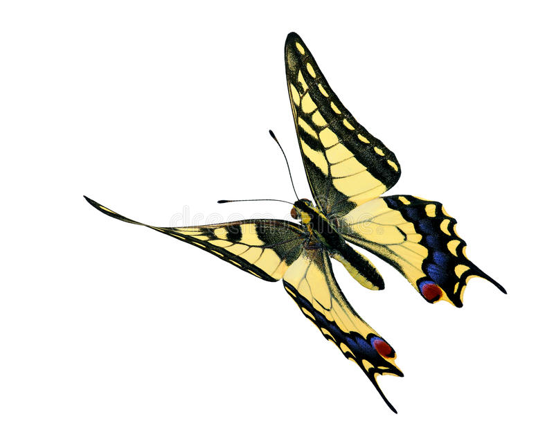 Common Swallowtail (Papilio machaon) in flight. A specimen of Papilio machaon in flight, with wings twisted by air pressure royalty free stock photo