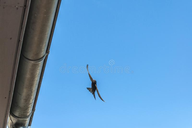 Common swift, extremely fast-flying bird. Common swift - apus apus - flying along gutter of a roof under blue sky royalty free stock photos