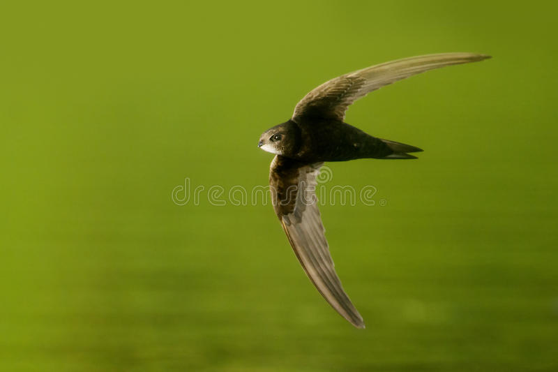 Common Swift. In flight over the lake