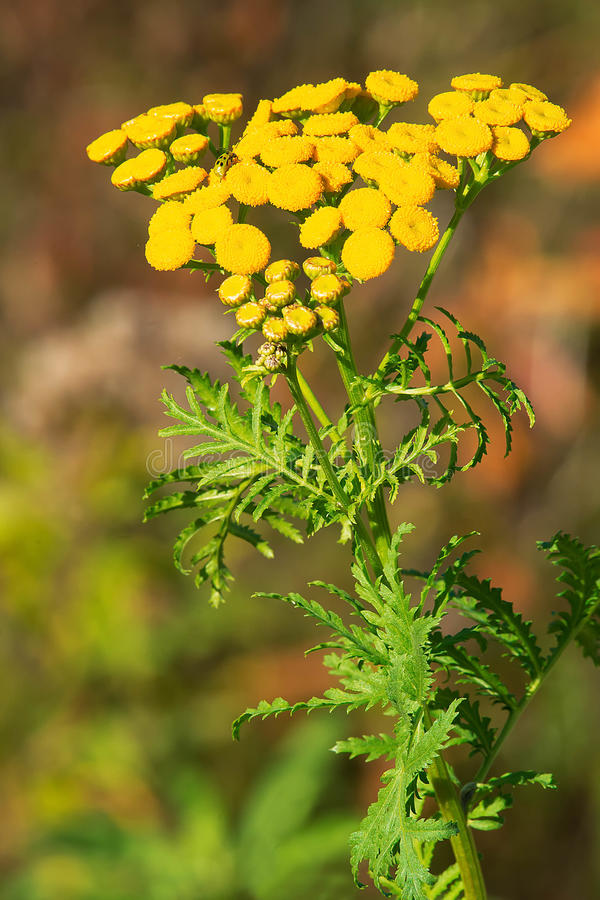 Download Common Tansy stock illustration. Illustration of outdoors - 85020446