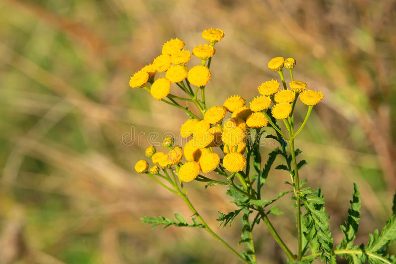 Download Common Tansy stock illustration. Illustration of bloom - 85052248
