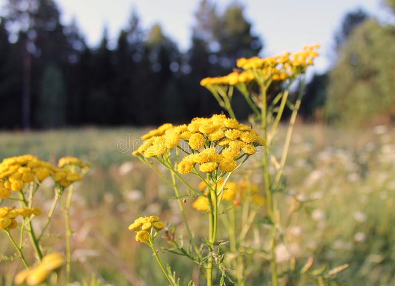 Common tansy is a perennial herb of the Astrovye family of the Tansy genus. Common tansy Tanacetum vulgare L is a perennial herb of the Astrovye family of the stock image