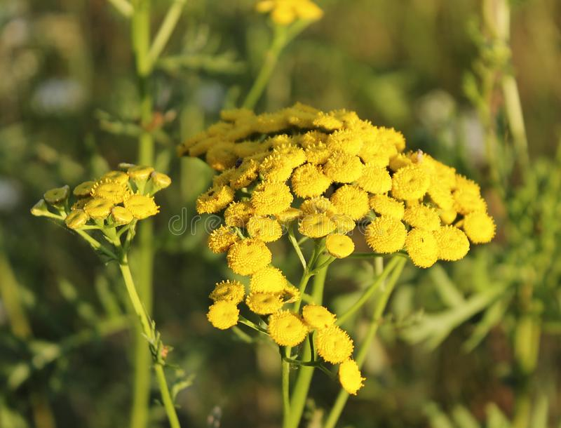 Common tansy is a perennial herb of the Astrovye family of the Tansy genus. Common tansy Tanacetum vulgare L is a perennial herb of the Astrovye family of the stock photo