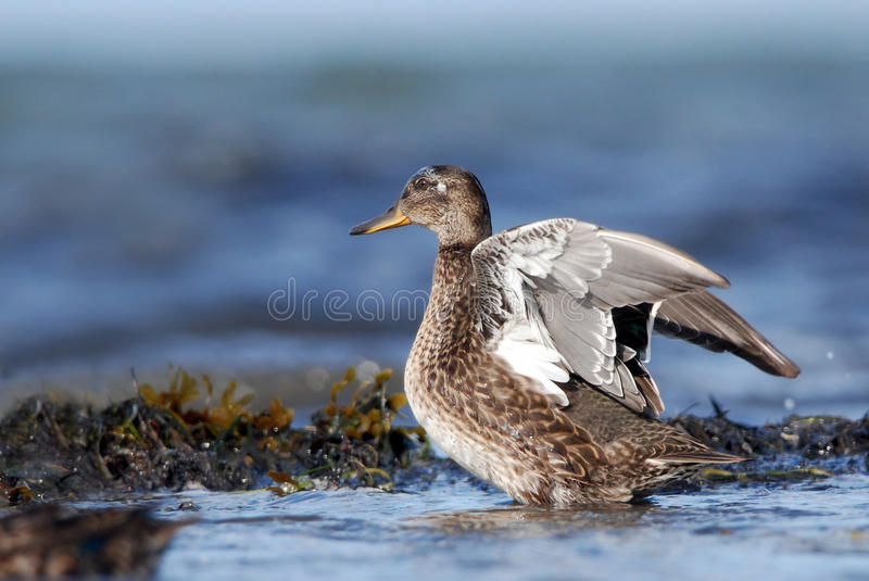 Common Teal flapping. Wings on a seashore stock images