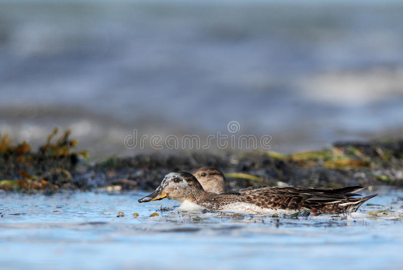 Common Teal. S swimming near the shoreline royalty free stock photo