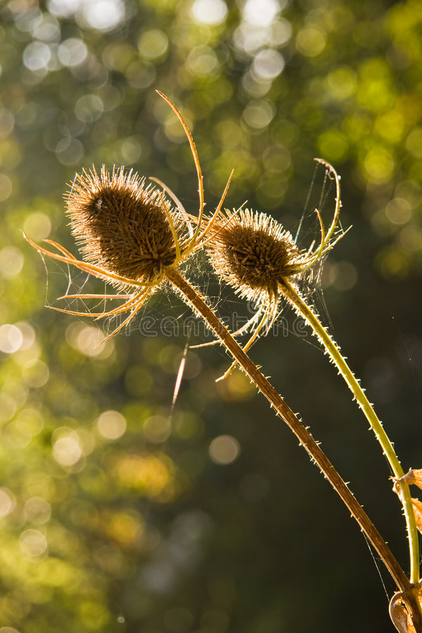 Common Teasel-Dipsacus fullonum. Seed capsules from Common Teasel royalty free stock images