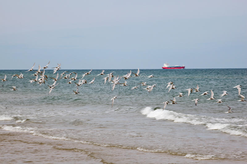 Download Common Tern stock image. Image of non, scandinavia, cargo - 26194825