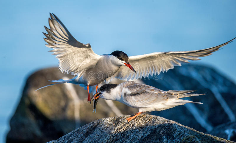Download Common Tern Adult Feeding Chick. Stock Photo - Image: 83724070
