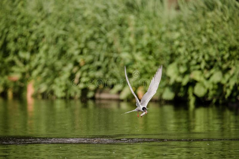 Common tern flying away with a fish it has just caught from diving in the water stock photography