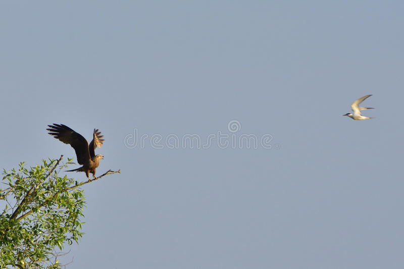 Common Tern attacking a black kite royalty free stock image