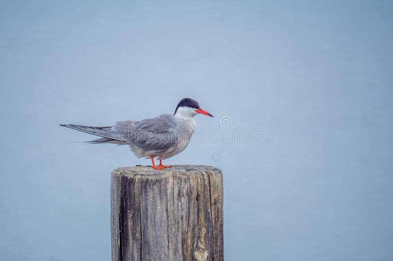 Common Tern bird in the Hula Nature Reserve. Common Tern bird on a pole in the lake, in the Hula Nature Reserve, northern Israel royalty free stock photo