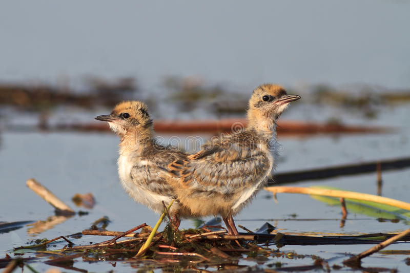 Download Common tern chick on lake stock photo. Image of tern - 26839118