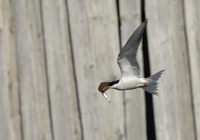 Download Common Tern In Flight With Fish. Stock Image - Image: 21520055