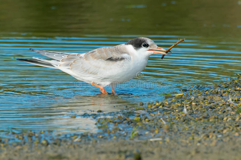 Common Tern. Juvenile Common Tern in the shallow water playing with a stick stock image
