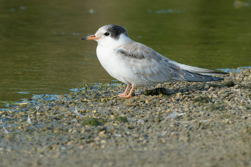 Common Tern. Juvenile Common Tern standing on a gravel beach royalty free stock images