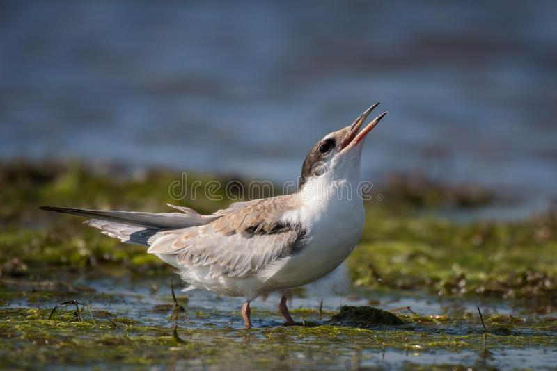 Common tern in natural habitat sterna hirundo stock images