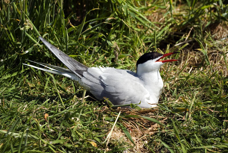 Common Tern on Nest. stock photo
