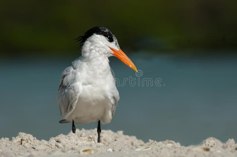 A common tern poses at Wiggins Pass, Florida. A common tern Thalasseus maximus with non-breeding plumage poses on a sandbar at Wiggins Pass, Florida, with a stock image