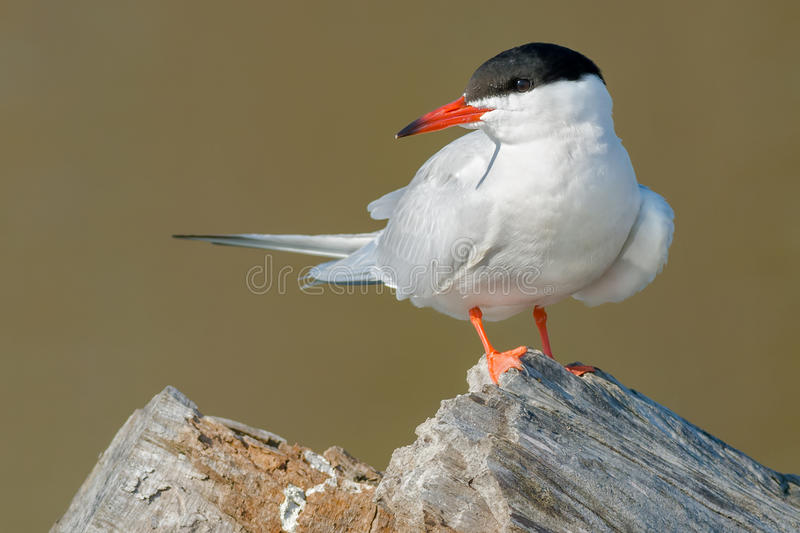 Common Tern. Standing on an old stump stock photography