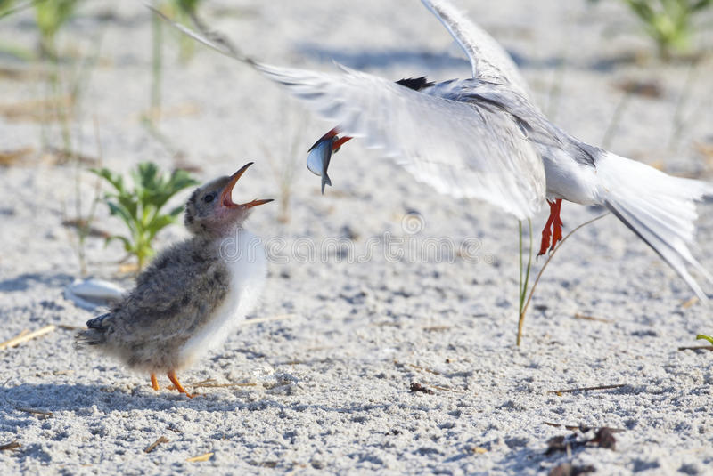 Common Tern (Sterna Hirundo) stock photo