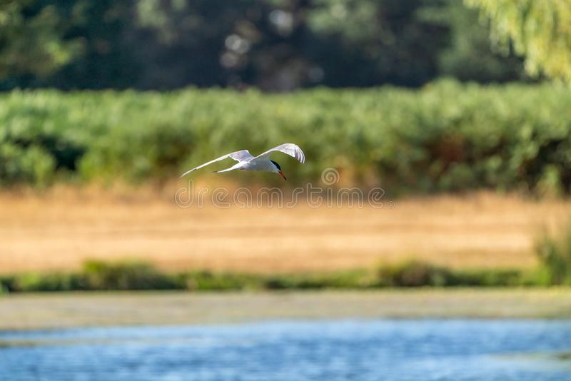 Common tern (Sterna hirundo royalty free stock images