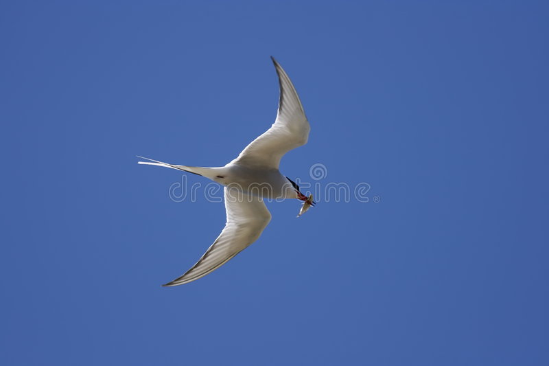 Common tern - Sterna hirundo. A common tern - Sterna hirundo with a blue sky stock photo
